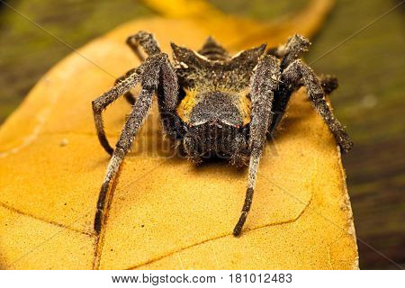 Parawixia Is A Genus Of Orb Web Weaving Spiders From The Family Araneidae. Most Species Of Parawixia