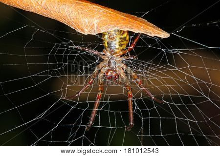 Phonognatha Graeffei, Referred To As The Leaf Curling Spider, Is A Common Australian Spider Found In