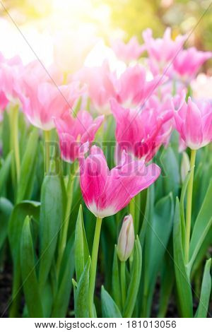 Beautiful bouquet of tulips. colorful tulips. tulips in spring, colourful tulip