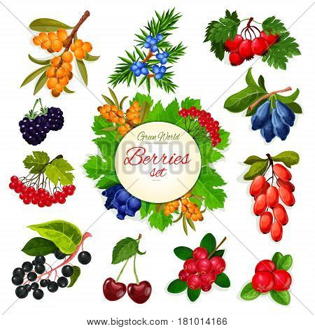 Berries and wildberry vector icons. Garden and forest buckthorn and honeysuckle fruits, wild barberry, cranberry or rowanberry and ashberry. Juicy cherry, blackberry or blueberry and haw or briar