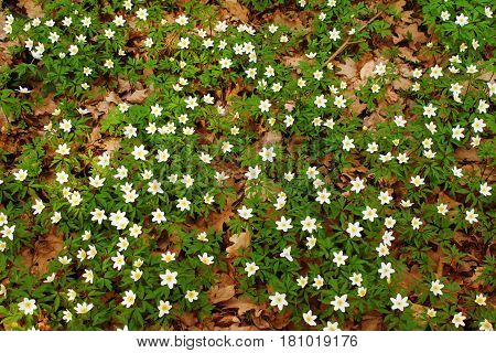 White spring flowers as the background image.