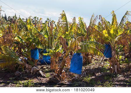 banana plantations covered with mesh. Green banana bunch on the banana plantation