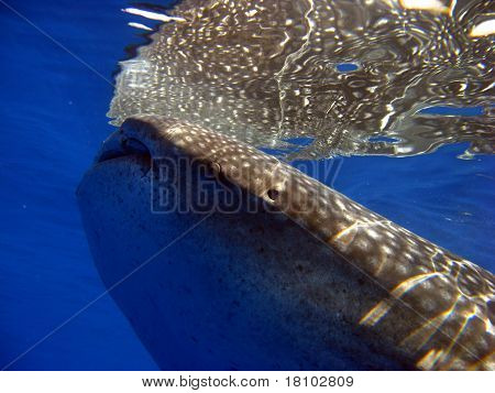 A whale shark reflected
