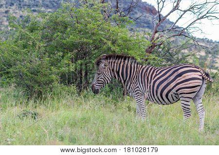 Burchells zebra (Equus quagga) in Marakele national park