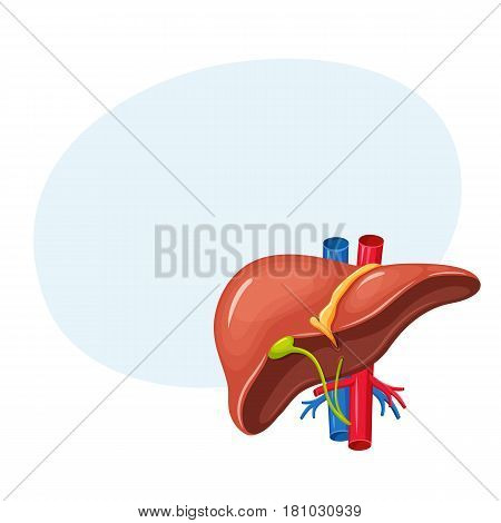 Human liver anatomy. Medical science vector illustration. Internal organ: gallbladder, aorta and portal vein, hepatic duct