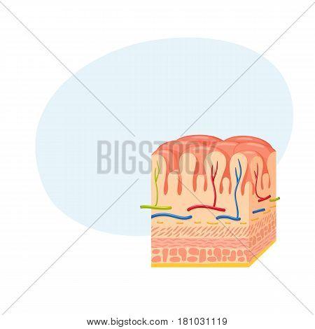 Stomach wall anatomy. Medical science vector illustration. Internal human organ: mucosa and submucosa, muscularis externa, serosa.