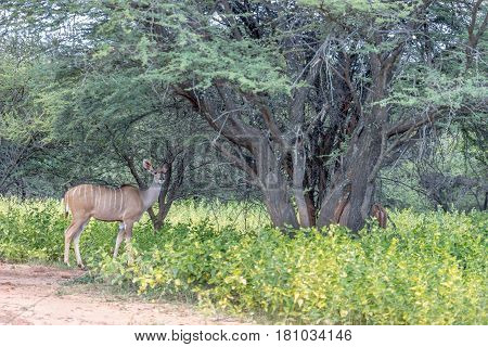 Greater kudu female looking at the camera