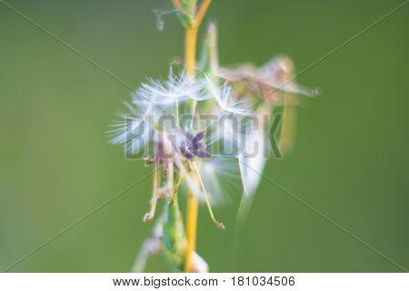 Fragile dandelion fluff. Autumn abstraction. Fragile fluff blowball macro on green blurred background