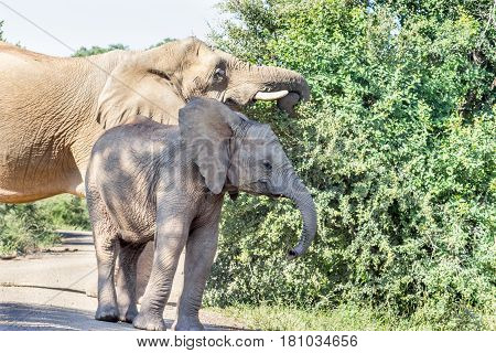 young African bush elephant in Marakele national park