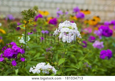 White and pink Geranium flowers on flowerbed, selective focus
