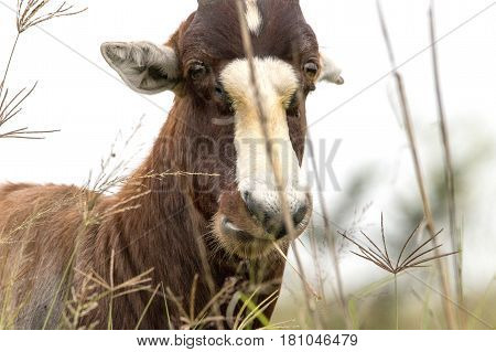 Face Of Wild Blesbok Standing Amongst Tall Grass