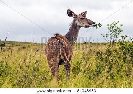 Female Impala Buck Feeding On Green Leafed Plant