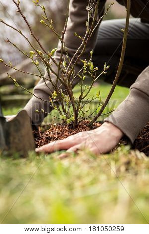 female gardener is planting a blueberry bush landscaping and garden work