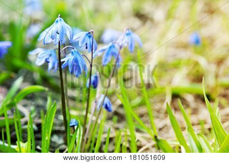Spring floral background with first blue snowdrops. Seasonal spring blurred Easter backdrop with the Scilla Squill flowers and copy space. Selective focus.