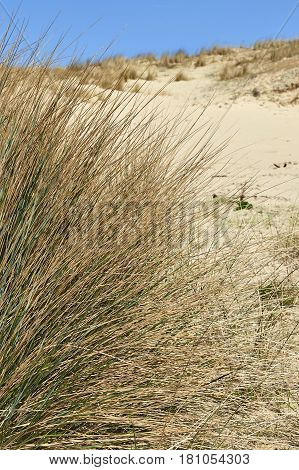 Natural Grass And Plants On The Sand Dunes