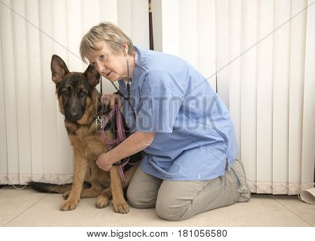 Female vet monitoring an Alsatian dogs heartbeat