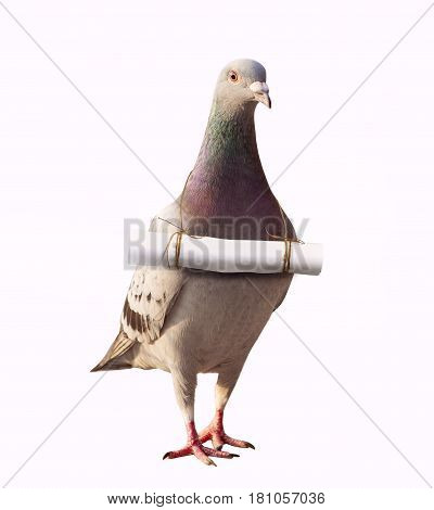 pigeon bird and paper letter message mail on neck for abstract of media and press sender