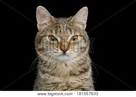 Portrait of Unusual Cat with wide nose, stare Wrinkled on Isolated Black background, front view