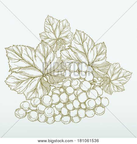 Grape branch with bunch of grapes and leaves isolated on grey background. Hand drawn vector vintage engraving illustration. Wine label or advertisement design element.