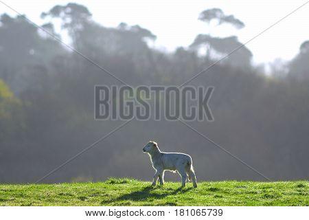 Young lamb on a farmland in East Devon