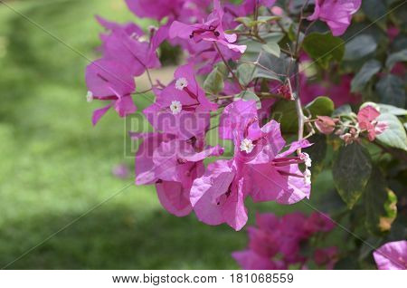 Lesser bougainvillea Bougainvillea glabra , blooms in the garden. Beautiful flower background.