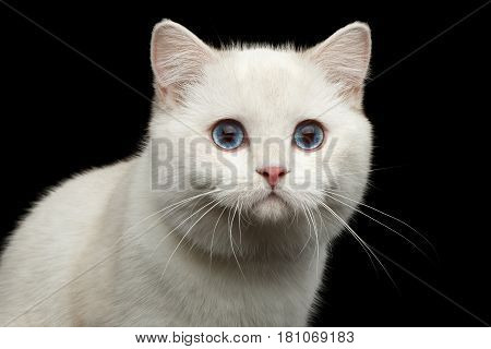 Close-up Portrait of Furry British breed Cat White color with magic Blue eyes on Isolated Black Background