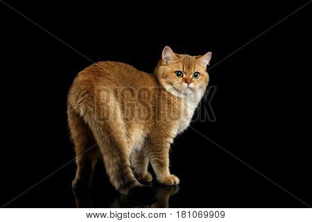 Gorgeous British Cat with Gold chinchilla Fur, Green eyes Turn back on Isolated Black Background