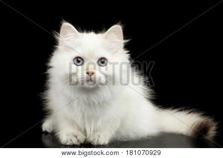 Furry British breed Kitten of White color Fur and Blue eyes Sitting and Stare in camera on Isolated Black Background