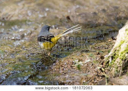 Grey wagtail (Motacilla cinerea) in river. Colourful bird in the family Motacillidae showing long tail and yellow underparts