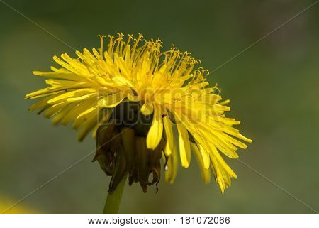 Dandelion (Taraxacum officinale agg.) flower showing stamens. Close up of common yellow plant in the daisy family (Asteraceae) showing reproductive parts of flower