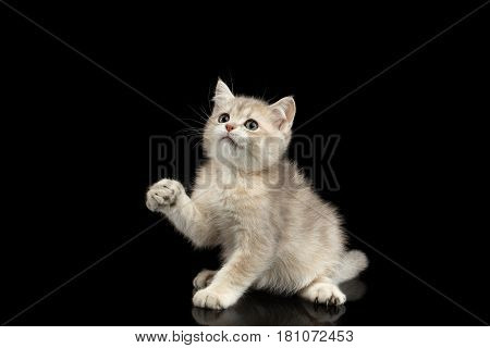 British Kitten Red Fur and Green eyes Plays with paw and Looks curious on Isolated Black Background, front view