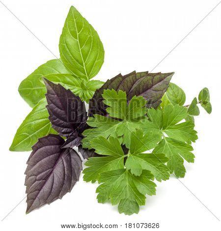 Fresh herb leaves variety isolated on white background. Purple dark opal basil, sweet basil, oregano, parsley.