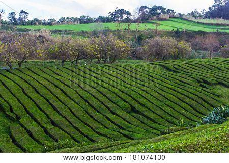 Tea plantation on island Sao Miguel, Azores, Portugal