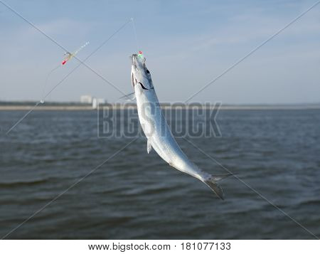 herring fish on fishing hook on water background