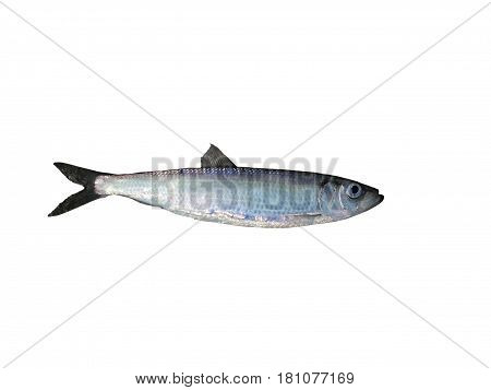 one fresh herring on a white background
