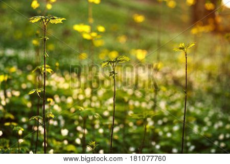 Spring awakening green plants in the forest on sunset background