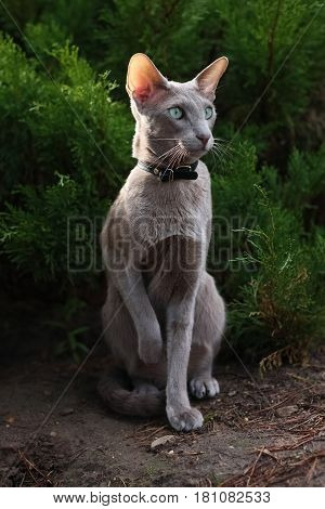 Beautiful Grey Young Cat Sitting on Ground Near Coniferous Bush In Summer Park. Breed Oriental.