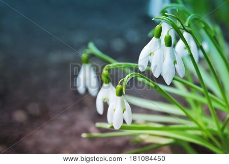 The first delicate spring snowdrops flowers in nature. Group of Snowdrop flowers (Galanthus nivalis) blooming in forest. White small flowers in shape of drops on bokeh background with copy space. Floral Easter seasonal toned picture.