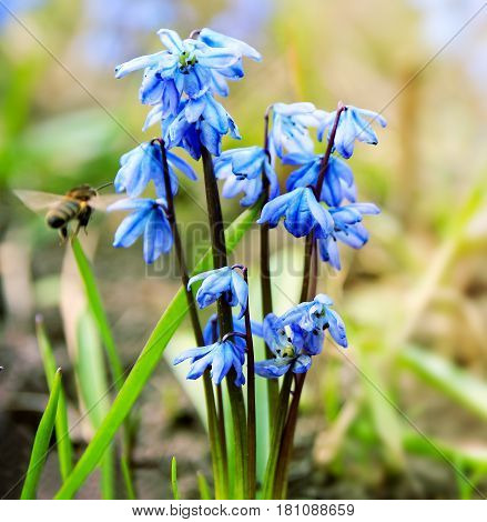 Spring floral background with first blue snowdrops and the bee flying to them. Seasonal spring blurred Easter backdrop with the Scilla Squill flowers.