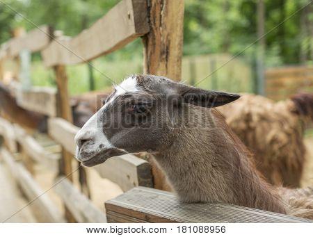 Cute llama, funny animal, standing. Portrait of llama closeup