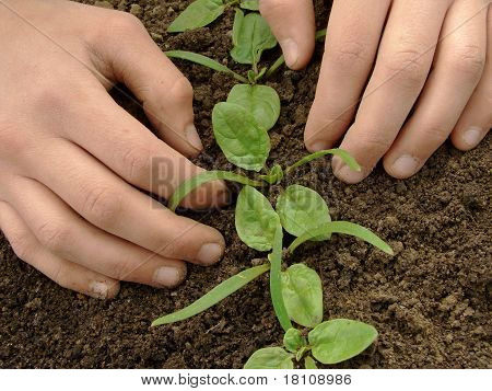 Loosen Spinach Seedlings