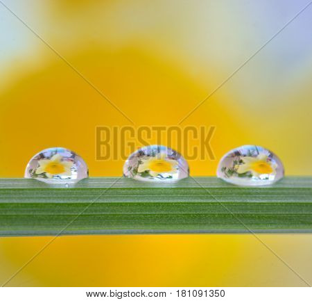 Yellow daffodils reflexion in dew drop, close up