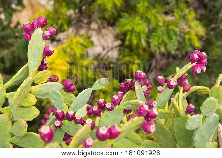 Prickly pear cactus with fruit. Prickly Pear with cactus fruits outdoor closeup