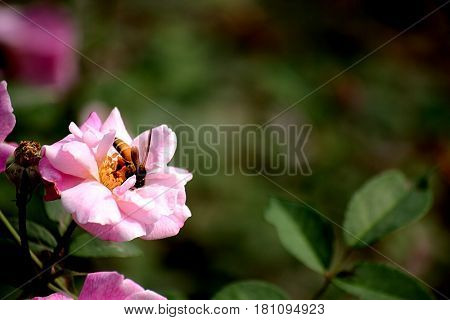 Bee trying to get nectar from the rose
