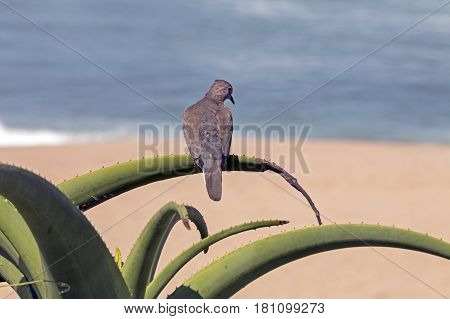 Close up of single dove perched on green spiked aloe plant against beach and ocean
