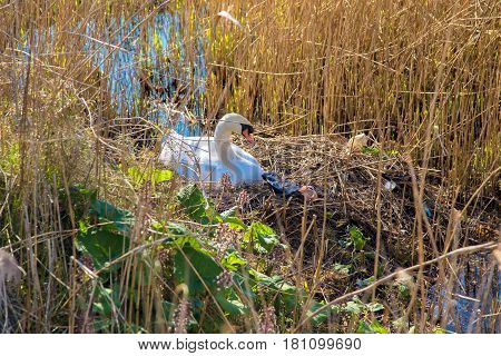 Swan's nest among the garbage. The swan's mother sits on the nest next to it lie garbage and garbage bags. Environmental pollution.