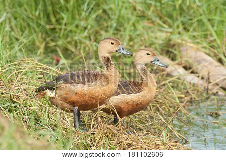 The Lesser Whistling-Duck seek a food in the pond