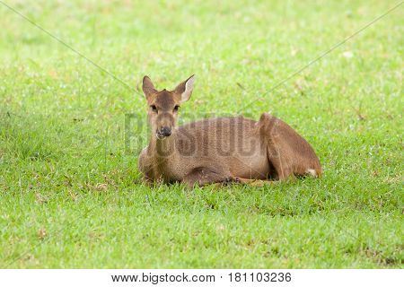 The deer take a rest on the grass