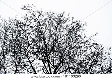 halloween loneliness. black silhouette of bare leafless tree branches in autumn or winter dead nature outdoor isolated on white sky background