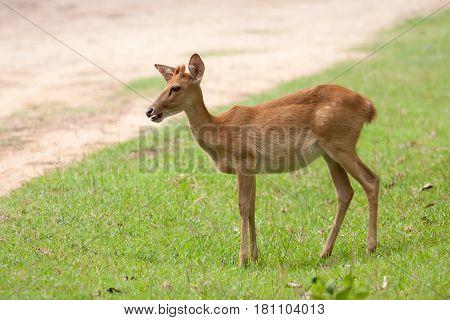 The deer seek a food on the grass